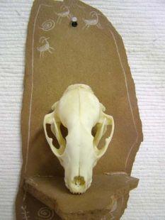 Animal Skull - Raccoon