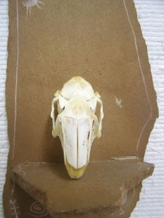 Animal Skull - Jackrabbit
