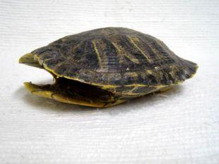 Slider Turtle Shell
